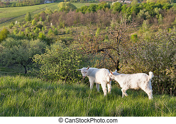 Domestic baby goatees in a pasture spring orchard closeup,...