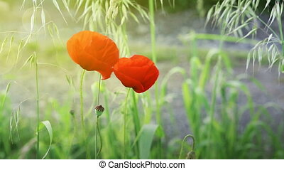 Poppy flowers isolated on green. - Two red poppies isolated...