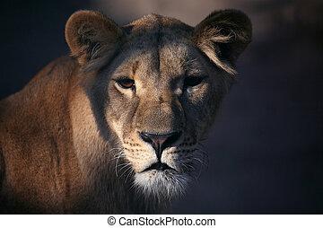 portrait of a lioness close up