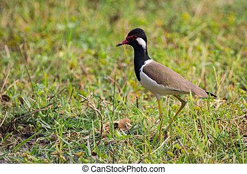 Image of red-wattled lapwing bird (Vanellus indicus) on...