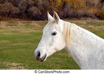 White Horse in a Pasture - White horse standing in a pasture...