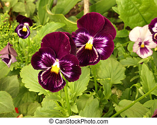 two pansy blooms - Two blooming pansy blooms