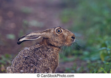 Portrait of a sitting brown hare lepus europaeus