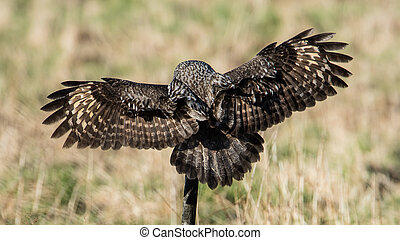 Great Grey's back - A Great Grey Owl (Strix Nebulosa) shows...
