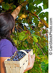 Grape picking - A young girl grape picking