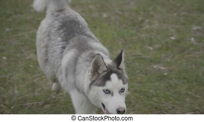 The dog breeds husky runs - husky running on the green lawn