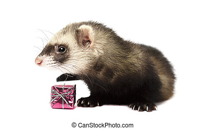 Grey ferret isolated on white background