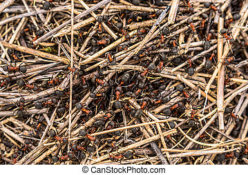 Family of ants in an anthill close-up - A family of ants...