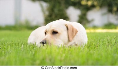 Labrador retriever dog in park - Dog breed labrador...