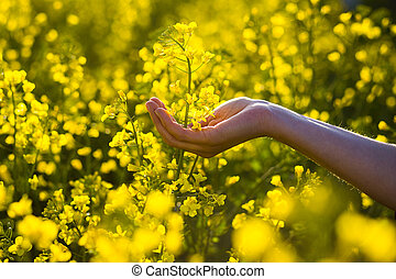 Female hands touching rape flowers.touch with nature,female hand touching yellow flowers,Woman agronomist walking the field of oilseed rape,concept of responsible growth and crop protection.