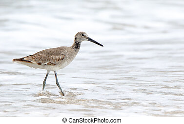 Shorebird (willet) walking in the surf in Florida