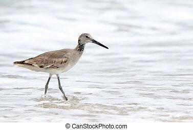Shorebird (willet) walking in the surf in Florida