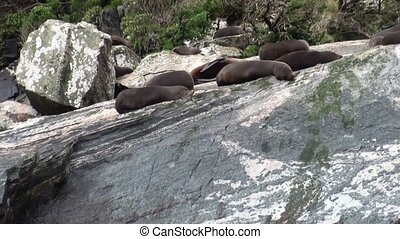 Seals on rocky coast of ocean in New Zealand. Scenic peaks...