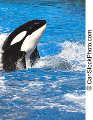 Orca Whale - Orca (Killer) Whale in blue water.