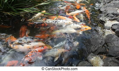 Japan fish call Carp or Koi fish colorful, Many fishes many...