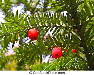 Yew - relict plant. Occurs in Ukraine.