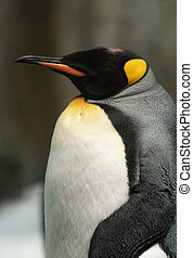 King Penguin - Photograph of a King Penguin