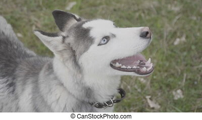 Portrait of a dog of the Husky breed - Portrait of a dog of...
