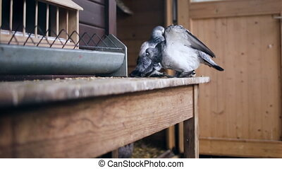 Fancy Pigeons and Chickens in a Coop
