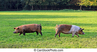 Left and right pigs in a field - Two funny brown pigs (sus...