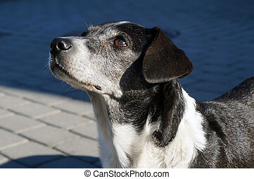 Black and white dog with brown eyes.