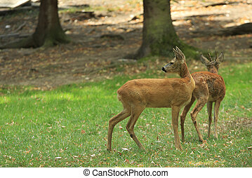 Pair of Deer
