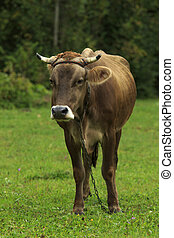 Cow On A Chain