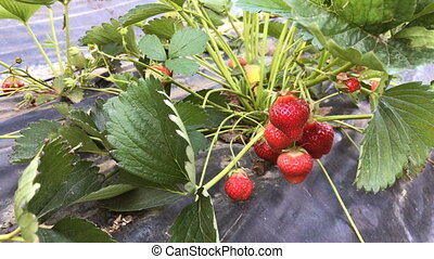 Ripe strawberries in the garden, close up