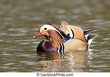 Mandarin duck male (Aix galericulata)