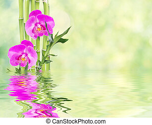 Lucky Bamboo and three orchid flower reflected in a water -...