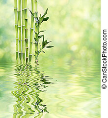 Lucky Bamboo on natural background reflected in a water...