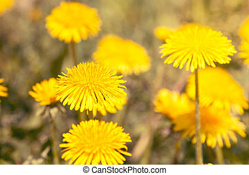 Close-up view of yellow dandelions