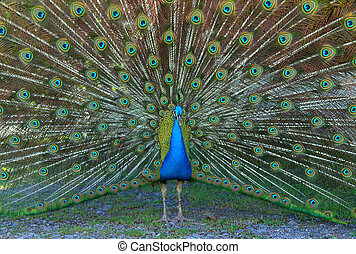 Male Blue Peafowl displaying - Blue Peacock tail up with...