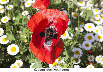 Large poppy flower on a field of daisies. Beautiful floral...