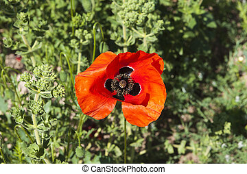 Large poppy flower on the field.