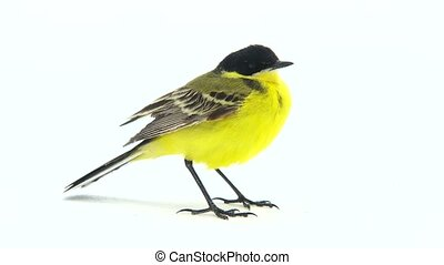 wagtail (Motacilla feldegg) isolated on a white background...