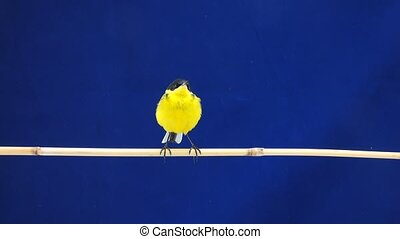 wagtail (Motacilla feldegg) isolated on a blue background in...