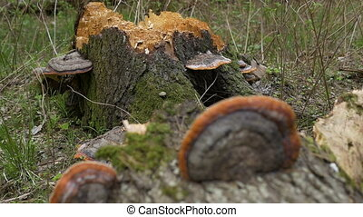 The trunk of a dead tree on which grow tree mushrooms.