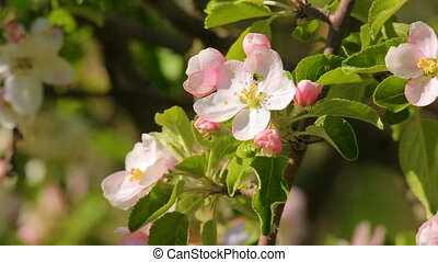 Blossoming apple flower close-up, in which creeps bug -...