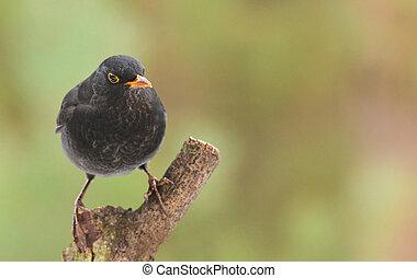 Blackbird, Turdus merula, single male on branch