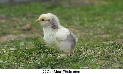 Chick on a background of green grass - Chicken closeup on a...