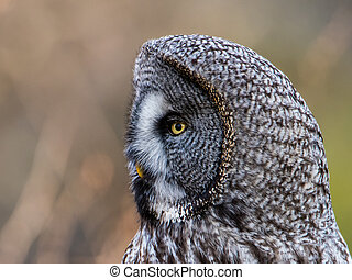 Great Grey's Profile a closeup - A Great Grey Owl (Strix...