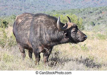 Cape Buffalo bull standing in the long grass