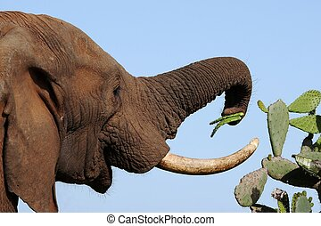 African Elephant and Prickly Meal - African elephant eating...