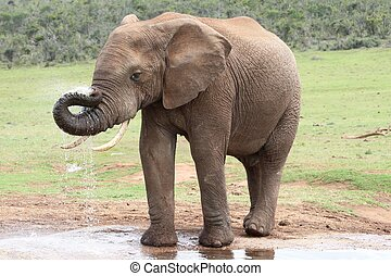 African Elephant at Water