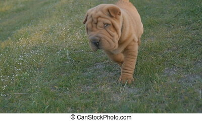 Puppy of the breed of shar pei - shar pei puppy walking on...