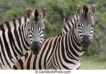 Zebra Couple - Two Burchells or plains zebras looking at the...