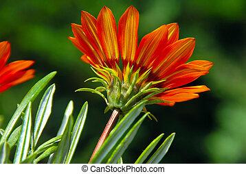 laranja, flor, sobre, verde