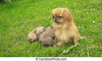 Pekingese puppies are sleeping together - Pekinese puppies...