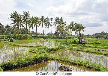 Rice fields in Lombok Indonesia